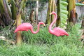Pair of plastic pink flamingoes retro kitsch featherstone in tropical grassy garden Royalty Free Stock Photography