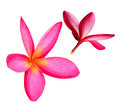 Pair plumeria white background Stock Photo