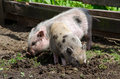 Pair of pot belly pigs rooting in mud Royalty Free Stock Photo