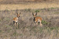 Pair of Pronghorn Antelope Bucks Royalty Free Stock Photo