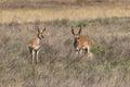 Pair of Pronghorn Antelope Bucks Royalty Free Stock Photo
