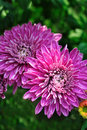 Pair of purple chrysanthemum Stock Images