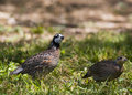 Pair of quail Stock Photo
