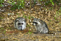 Pair of Raccoons Stock Images