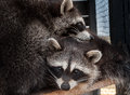 A pair of raccoons photographed cuddling close Royalty Free Stock Photo
