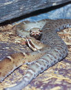 A pair of ridge nosed rattlesnakes crotalus willardi close up mountain snake Stock Image
