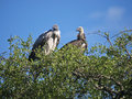 Pair of Rueppell's Vultures Stock Photo