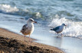 Pair of seagulls on the shore a sea gulls walk along waters edge sandy beaches lake michigan Stock Images