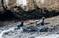 Pair of seals near the ocean a on seal island with waves breaking over rocks Stock Images