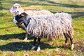 Pair of sheeps grazing in sunny day Stock Photos