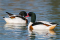 Pair Shelduck ducks, Tadorna tadorna Royalty Free Stock Photo