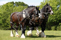 Pair of Shire Horses Working Stock Image