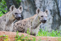 A pair of Spotted hyena (Crocuta crocuta) Royalty Free Stock Photo