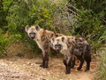 Pair of Spotted Hyenas. Stock Image
