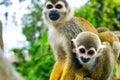 Pair Of Squirrel Monkeys