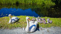 Pair of swans with cygnets a their sitting on the bank a canal Royalty Free Stock Image