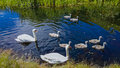 Pair of swans with cygnets a their swimming in a canal Stock Photos