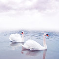 Pair of swans floating on water cygnus olor the surface a lake Royalty Free Stock Images
