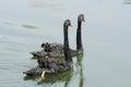 Pair swans gliding lake Stock Photography
