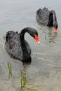 Pair swans gliding lake Royalty Free Stock Images