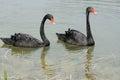 Pair swans gliding lake Royalty Free Stock Image