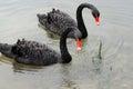Pair swans gliding lake Royalty Free Stock Photo