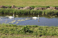 Pair of swans a graceful white swimming on a river in somerset england Royalty Free Stock Photo