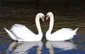 A pair of swans lovely birds floating on the water Stock Photo