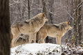 Pair of timber wolves in a winter environment Royalty Free Stock Photo