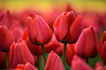 Pair of tulips a amidst a tulip field Royalty Free Stock Photos