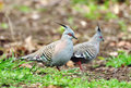 Pair of two beautiful Australian crested pigeons birds garden Royalty Free Stock Photo