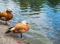 Pair of two brown ducks next to the water pond Stock Photography
