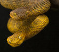 Pair of variable bush vipers portrait viper atheris squamigera male up and female below Royalty Free Stock Image