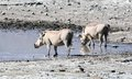 A Pair of Warthogs Drinking Tom Wurl.jpg Royalty Free Stock Photo