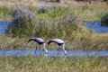 Pair of Wattled Cranes Fishing in Tandem Royalty Free Stock Photo