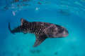 A pair of whale sharks near the surface two large swimming close to ocean Stock Photo