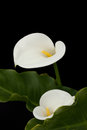 Pair of white calla lilies Royalty Free Stock Photo