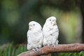 A pair of white parrots are sticking together with landscape shot Royalty Free Stock Photos