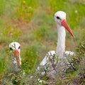 Pair of white stork conceptual bird portrait closeup. Looking ou Royalty Free Stock Photo