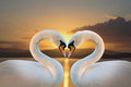 Pair of white swans on a background dawn Stock Photography
