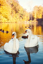 Pair of white swans on the lake floating autumn Royalty Free Stock Photo