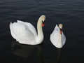 Pair of white swans on lake the in hyde park london Stock Images