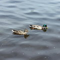 A pair of wild ducks Royalty Free Stock Photo