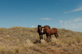 A pair of wild horses in the steppe. Royalty Free Stock Photo