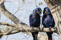 Pair of Wild Hyacinth Macaws Holding Conversation Royalty Free Stock Photo
