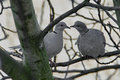 A pair of wild pigeons sitting on a branch Royalty Free Stock Photo