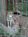 Pair wolves behind fence, Caucasus Nature Reserve Royalty Free Stock Photo