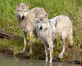 Pair of wolves by water, wet. Royalty Free Stock Photo