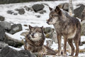 A pair of wolves in winter snow two gray canis lupus the Royalty Free Stock Photos