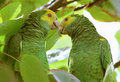 Pair of Yellow-shouldered Amazon parrots Stock Photography